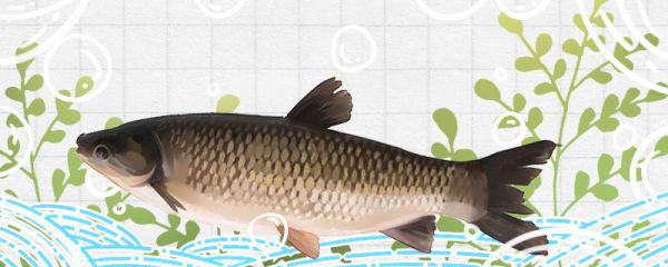 草鱼多大能繁殖产卵,一年繁殖几次
