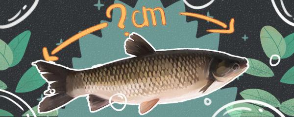 草鱼可以长到多大,多大能产卵