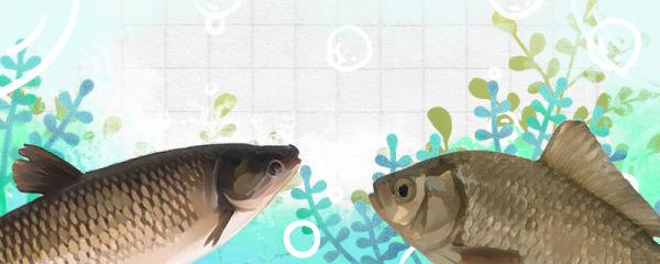 草鱼是鲫鱼吗,和鲫鱼有什么区别
