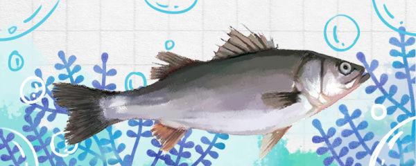鲈鱼吃什么食物,可以吃小鱼吗