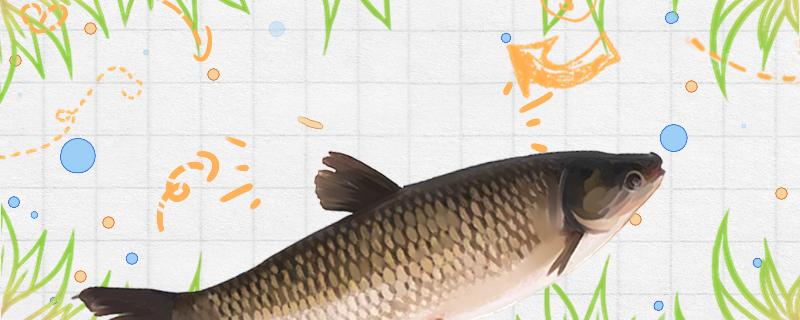 草鱼生长速度快吗,长到4斤要养多久-轻博客