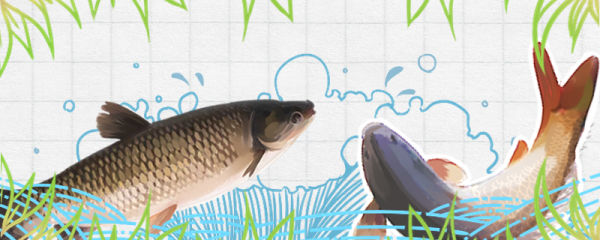 草鱼有多少刺,和鲤鱼比哪个刺少
