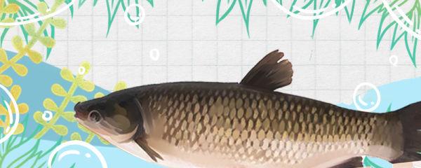 草鱼会产卵吗,什么时候产卵