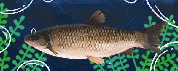 草鱼用自来水能活吗,能养几天