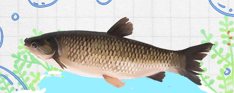 鱼缸里养草鱼能活吗,为什么养不活