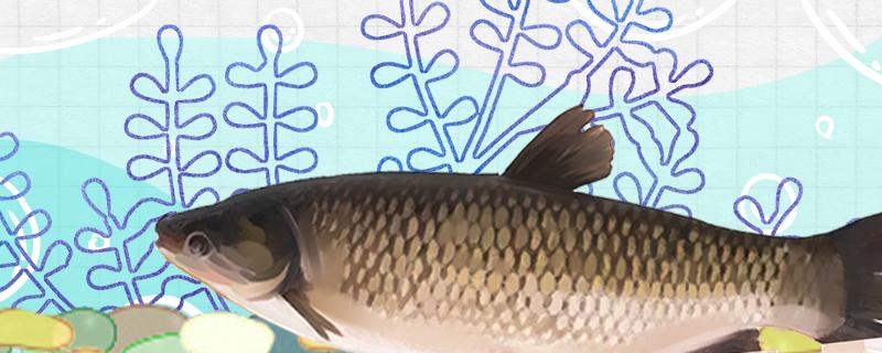 养草鱼种什么牧草最好,可以用苏丹草喂草鱼吗