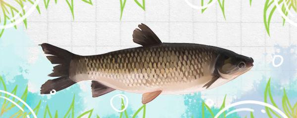 草鱼吃草吗,一斤草鱼一天喂多少草