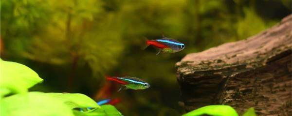 红绿灯鱼生小鱼有什么前兆,多久繁殖一次