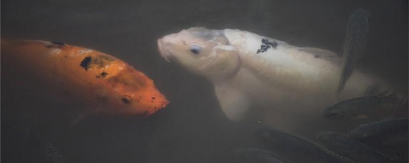 锦鲤感冒趴缸底是什么原因,如何治疗