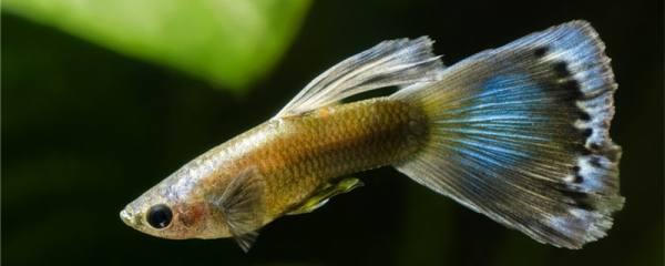 杂袍孔雀鱼是什么意思,杂袍孔雀鱼会出极品吗