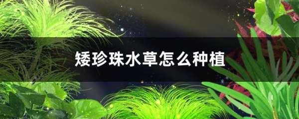 矮珍珠水草怎么种植,怎么固定