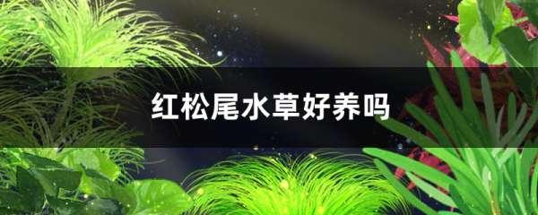 红松尾水草好养吗,需要二氧化碳吗