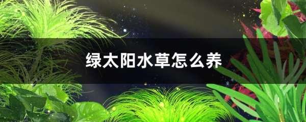 绿太阳水草好养吗,怎么养