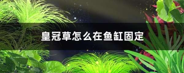皇冠草怎么在鱼缸固定,需要水草泥吗