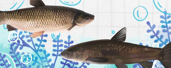 青鱼和草鱼是同一种鱼吗,有什么区别