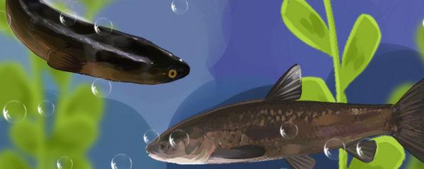 青鱼和黑鱼是同一种鱼吗,有什么区别