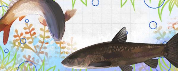 青鱼和鲤鱼是同一种鱼吗,有什么区别