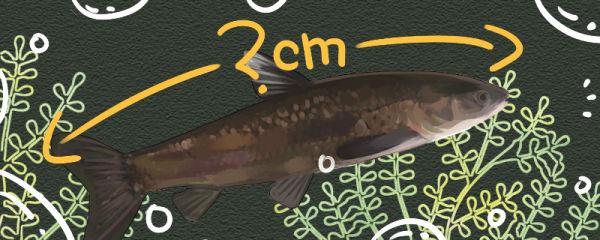 青鱼可以长多大,多大能繁殖