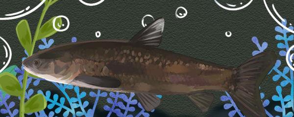 青鱼上浮是什么原因,怎么处理