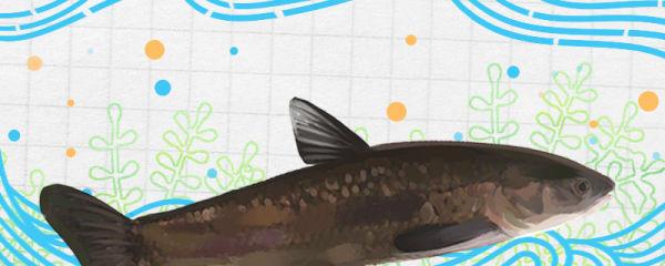 青鱼是草鱼吗,和草鱼有什么区别