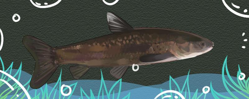 青鱼是海鱼吗,在淡水中能活吗
