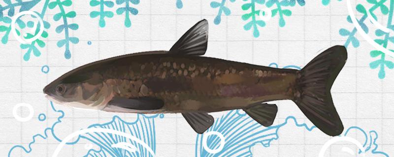 青鱼喂什么饲料好,多长时间喂一次