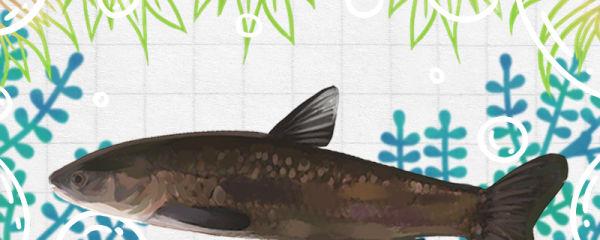 青鱼一般在多深的水层,用多深的水养合适