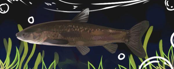 青鱼一年长多大,一年长多少斤