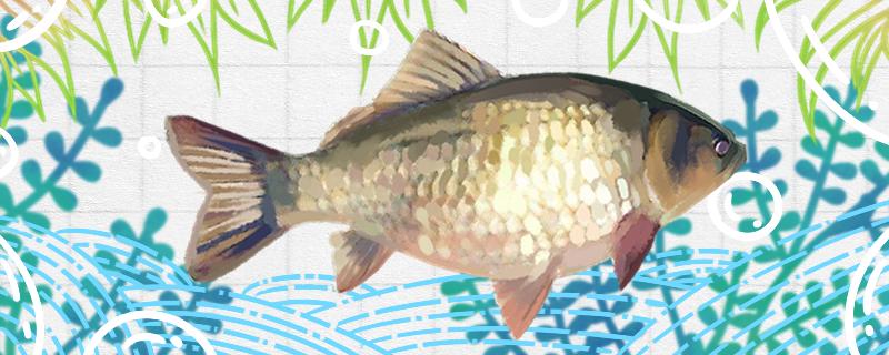 鲫鱼刺多吗,和草鱼比哪个刺多-轻博客
