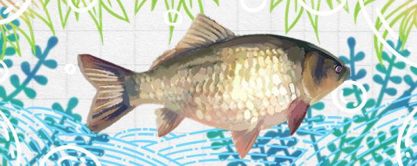 鲫鱼刺多吗,和草鱼比哪个刺多