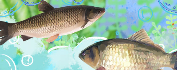 鲫鱼和草鱼是同一种鱼吗,区别是什么