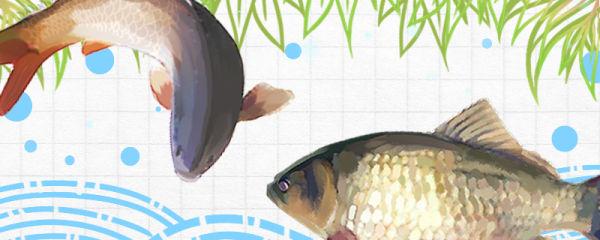鲫鱼和鲤鱼是同一种鱼吗,有什么区别