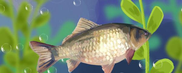 鲫鱼能活多久,多大能产卵