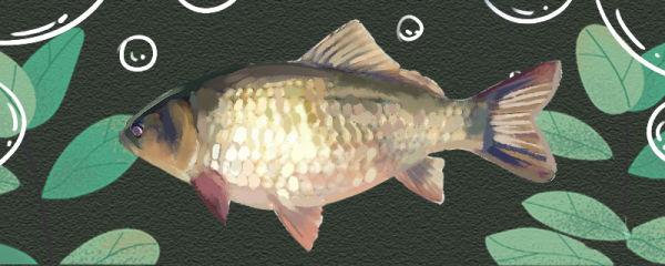 鲫鱼是淡水鱼还是海鱼,在海水中能活吗