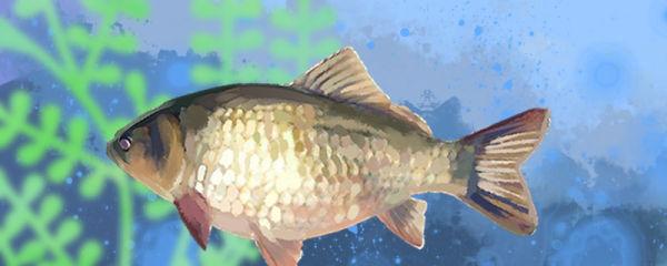 鲫鱼一个月能长多大,怎么养长得快