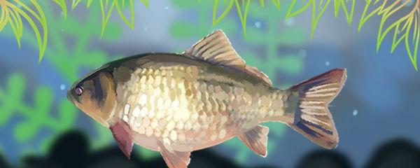 鲫鱼一年能长多大,怎么养长得好
