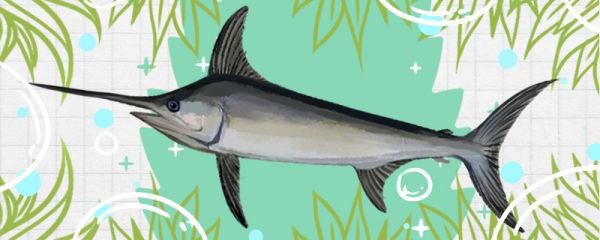 剑鱼是什么鱼,属于海水鱼吗