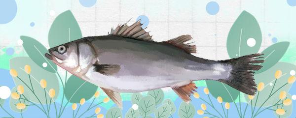 鲈鱼有刺吗,刺上有毒吗
