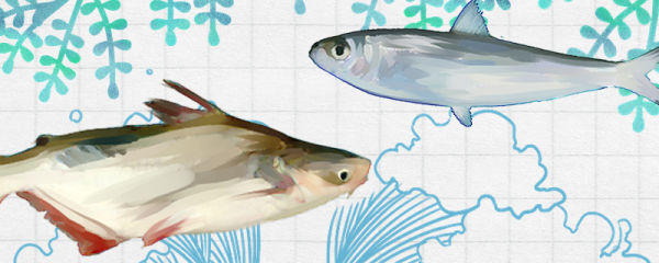 沙丁鱼和巴沙鱼是同一种鱼吗,有什么区别