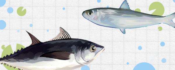 沙丁鱼和金枪鱼是同一种鱼吗,有什么区别