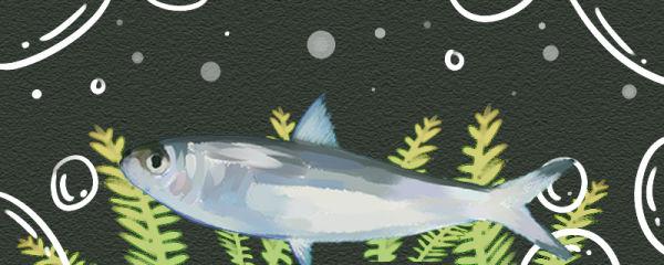 沙丁鱼是无鳞鱼吗,有鳞片吗