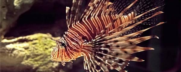 狮子鱼可以和什么鱼混养,和小丑鱼能一起养吗