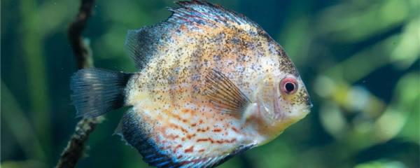 七彩神仙鱼得白点病是什么原因,怎么治疗