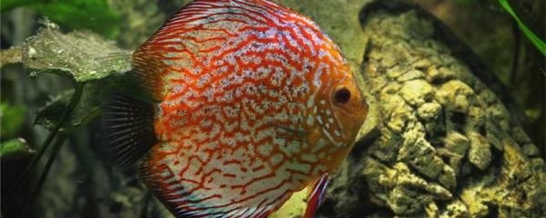 七彩神仙鱼不吃食是什么原因,怎么治疗