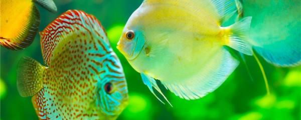 七彩神仙鱼不吃食怎么办,如何刺激开食