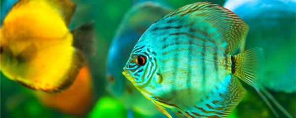 七彩神仙鱼多久能长大,能长到多大