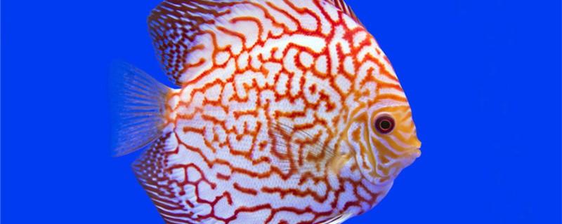 七彩神仙鱼能和鹦鹉鱼混养吗,能和龙鱼一起混养吗