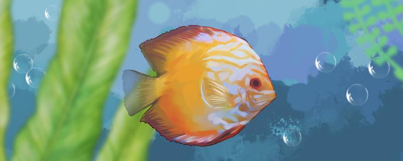 七彩神仙鱼能长多大,多大才发色