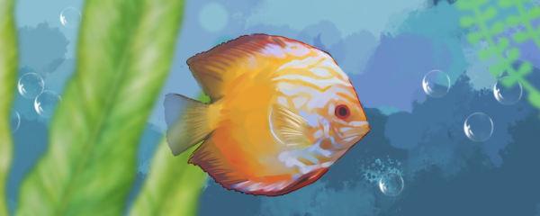 怎样分辨七彩鱼是不是老头鱼,七彩老头鱼怎么养能恢复