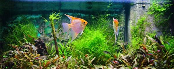 神仙鱼吃小鱼怎么处理,需要隔离吗
